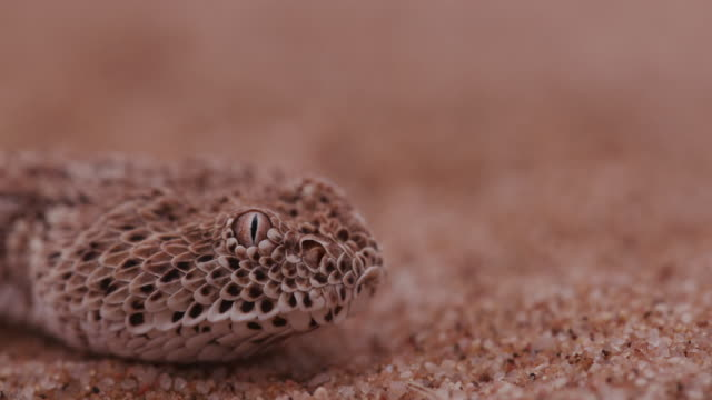 4K close-up of Sidewinder/Peringuey's adder flicking its tongue