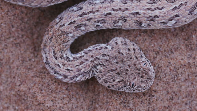 4K close-up of Sidewinder/Peringuey's adder moving across the sand