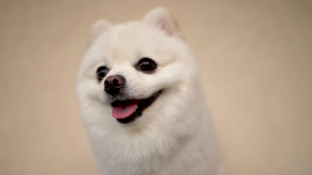 Close-up of small cream pomeranian dog. Happy puppy wags his tail on the soft, light background.