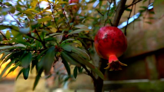 Closeup of small pomegranate fruits
