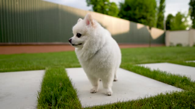 Closeup Of Small White Pomeranian Dog Standing On The Tile Backyard