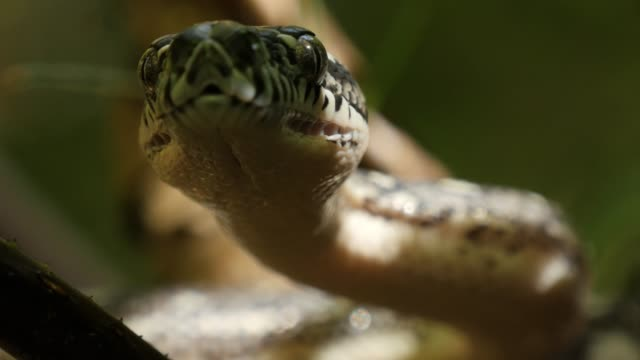 Closeup of snake eyes and mouth hunting - Diamond Python video