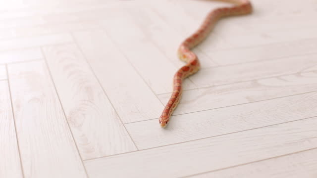 Close-up of snake on white background. video