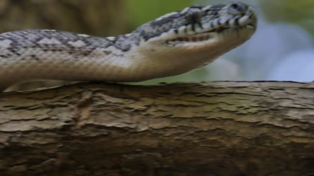 Closeup of snake pit organs, eyes and mouth hunting - Diamond Python video