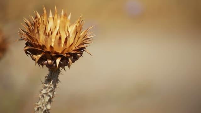 närbild av taggiga torkade tistel blommar med grunt djup - städsegrön växt bildbanksvideor och videomaterial från bakom kulisserna