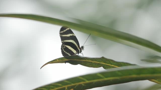 Close-up of striped zebra butterfly on a leaf