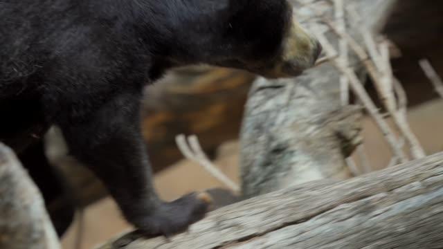 closeup of sun bear climbing tree