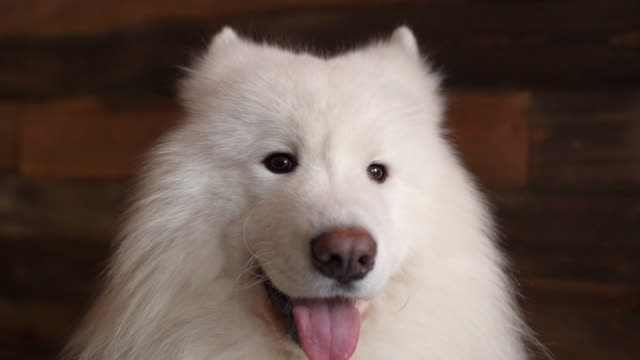 vídeos de stock e filmes b-roll de close-up of the face of a white dog of the breed samoyed - samoiedo