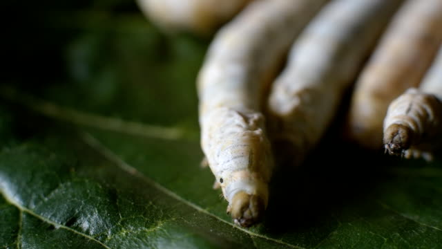 Close-up of the head of a silkworm on leaves of a mulberry tree Close-up of the head of a silkworm on leaves of a mulberry tree worm stock videos & royalty-free footage