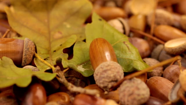 Close-up of the rotation of oak acorns and leaf video