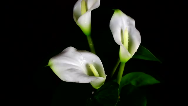 Close-up of three amazing wet white callas
