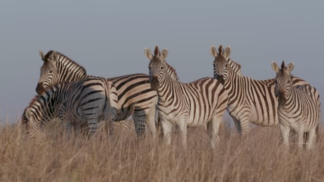 Close-up of three zebras standing and grazing in the Makgadikgadi grasslands, Botswana Close-up of three zebras standing and grazing in the Makgadikgadi grasslands, Botswana makgadikgadi pans national park stock videos & royalty-free footage