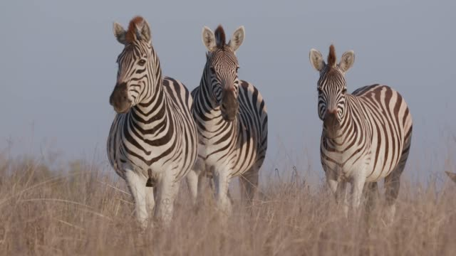 Close-up of three zebras standing in the Makgadikgadi grasslands, Botswana Close-up of three zebras standing in the Makgadikgadi grasslands, Botswana makgadikgadi pans national park stock videos & royalty-free footage