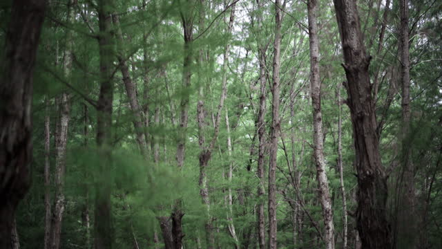 Close-up of tree trunks.Beautiful shots of pine forest