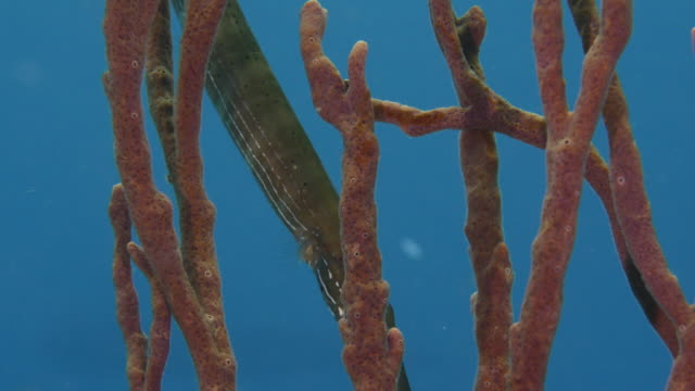 Close-up of Trumpet Fish as a part of the coral reef in the Caribbean Sea around Curacao Close-Up in coral the reef around Curaçao /Netherlands Antilles cleaner shrimp stock videos & royalty-free footage