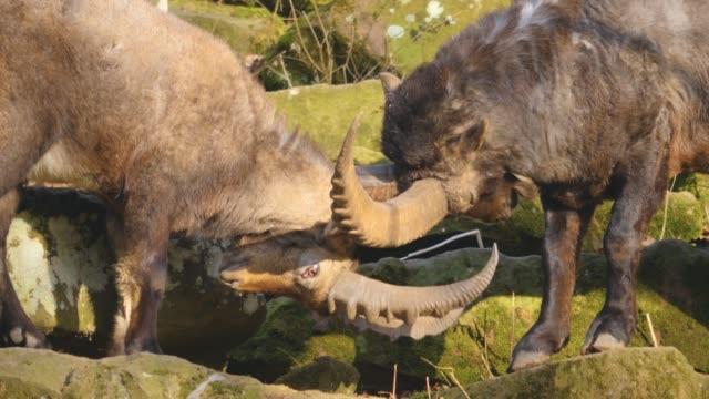 closeup of two alpine ibex fighting - poroże filmów i materiałów b-roll