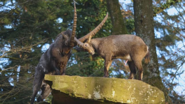 Closeup of two alpine ibex fighting video