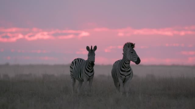 Close-up of two zebras standing in front of a beautiful red sunset in the Makgadikgadi grasslands, Botswana Close-up of two zebras standing in front of a beautiful red sunset in the Makgadikgadi grasslands, Botswana makgadikgadi pans national park stock videos & royalty-free footage