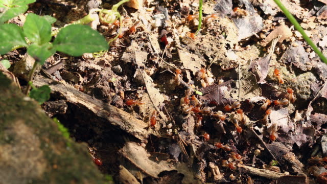 close-up of ugly termites on the dirt Termites are eusocial insects that are classified at the taxonomic rank of infraorder Isoptera, or as epifamily Termitoidae within the order Blattodea (along with cockroaches). Termites were once classified in a separate order from cockroaches, but recent phylogenetic studies indicate that they evolved from cockroaches, as sister to Cryptocercus. isoptera videos stock videos & royalty-free footage