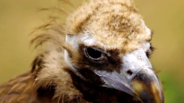Closeup of vulture at zoo park video