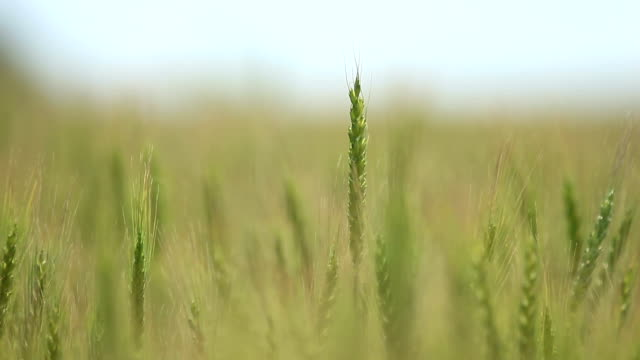 Closeup of wheat ears on wind - Shallow focus video