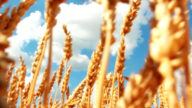 close-up of wheat field und himmel mit textfreiraum - kraneinstellung stock-videos und b-roll-filmmaterial
