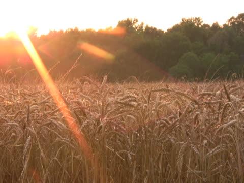 close-up of wheat field at sunset ntsc - klip uzunluğu stok videoları ve detay görüntü çekimi
