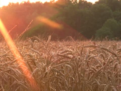 close-up of wheat field at sunset2 ntsc - klip uzunluğu stok videoları ve detay görüntü çekimi