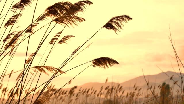 Nahaufnahme der Weizen wie Kulturen auf freiem Feld – Video