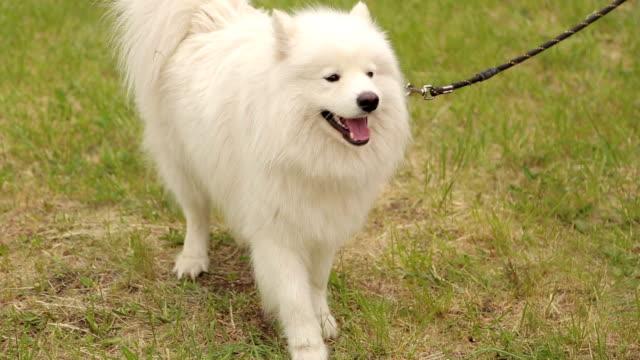 Close-up of white dog husky Samoyed in the Park.