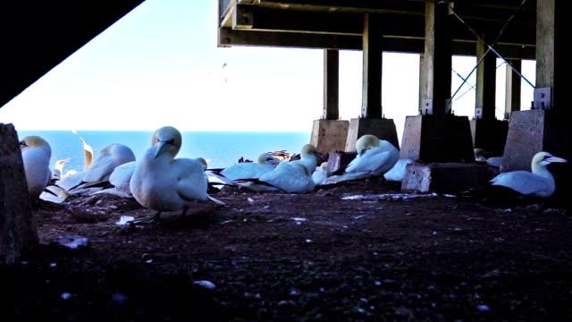 Nahaufnahme der weißen Gannet Vogel Kolonie Schachtelung auf Klippe am Bonaventure Island in Perce, Quebec, Kanada durch Gaspesie, Gaspe Region unter Gebäude – Video