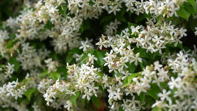 nahaufnahme von weißen jasminblüten unter grünem laub - jasmin stock-videos und b-roll-filmmaterial