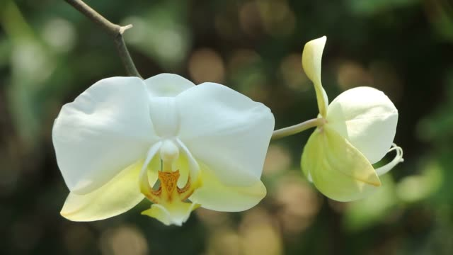 Closeup of White Orchid flower