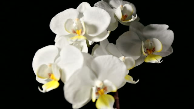 Closeup of white orchid flowers on black,