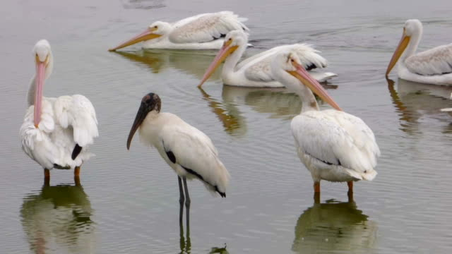 Closeup of White Pelicans and a Stork View of a small group of White Pelicans, some preening, some swimming and a Wood Stork ignoring them all pelican stock videos & royalty-free footage
