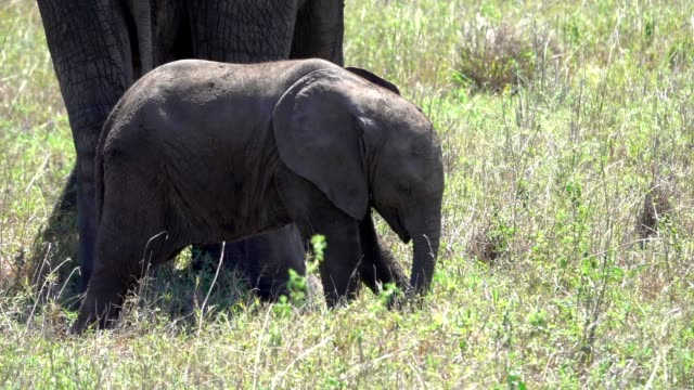 Close-up of Wild Elephant and her newborn calf feeding  in Africa video