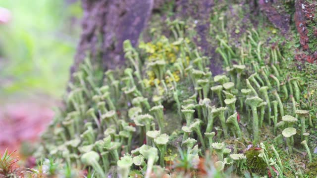 Close-up of wildlife vegetation, macro. Moss and lichen in the wild.