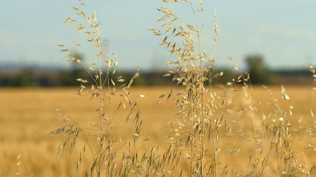 Close-up of withered grass swaying with wind in autumnal field; depth of field