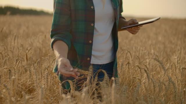 organik buğday tarlasında koşan kadın eli yakın çekim, steadicam çekim. yavaş çekim. kızın eli buğday kulaklarına yakın temas ediyor. güneş merceği parlaması. sürdürülebilir hasat konsepti - çavdar stok videoları ve detay görüntü çekimi