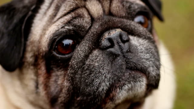 Closeup of wrinkly pug face, sick dog smelling air with dry nose, veterinary video
