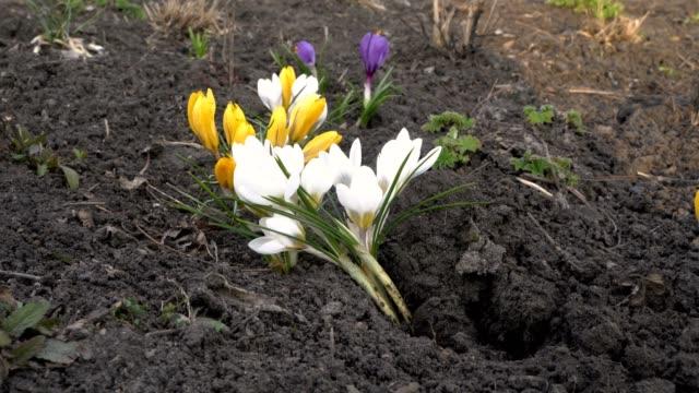 vidéos et rushes de gros plan des crocus jaunes, blanches et violettes au printemps au coucher du soleil. vue du niveau du sol. 4k. 25 fps. - crocus