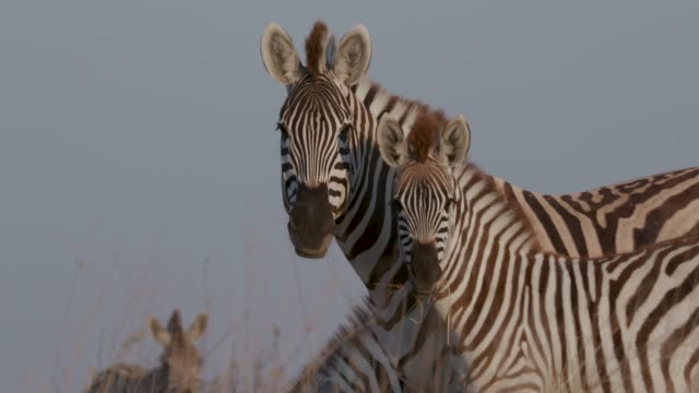 Close-up of zebra mother and foal standing in the Makgadikgadi grasslands, Botswana Close-up of zebra mother and foal standing in the Makgadikgadi grasslands, Botswana makgadikgadi pans national park stock videos & royalty-free footage