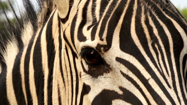 Close-up do olho de zebra, África do Sul - vídeo
