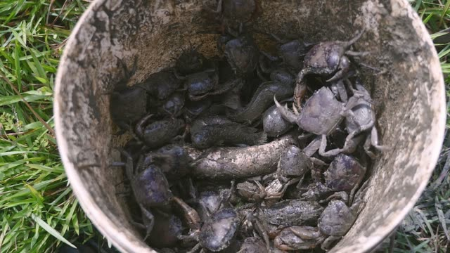 Close-up on a bucket of mud crabs caught in rice fields by a crab hunter Close-up on a bucket of mud crabs caught in rice fields by a crab hunter animal body stock videos & royalty-free footage