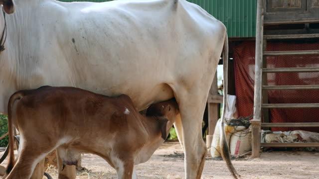 close-up su un vitello da latte con una vacca di latte in una della fattoria - giovenca video stock e b–roll