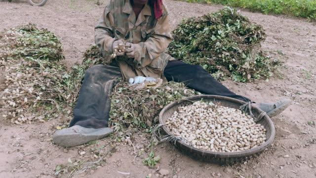 Close-up on farmer pulling peanuts off harvested plants and keeping it in bamboo baskets video