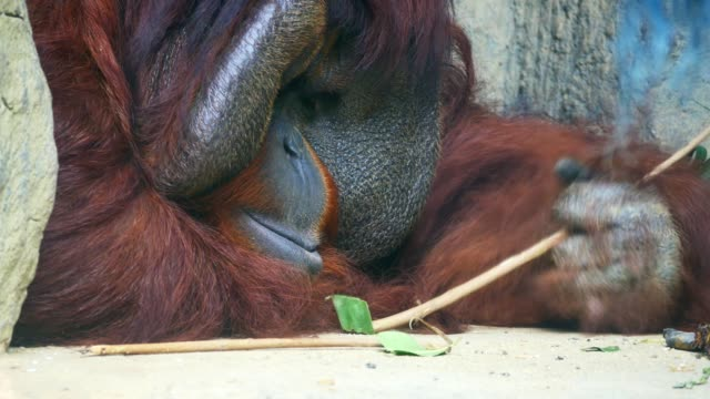 Close-up on Orangutan.
