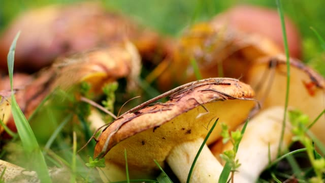 close-up, on the green grass large brown mushrooms lie. edible forest mushrooms. harvest
