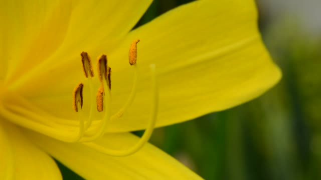 closeup on yellow lily stamens - stame video stock e b–roll