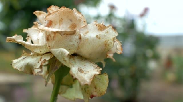 closeup one rotten wilted garden white rose reeling in the wind. Dead flowers. 4k. 4k video